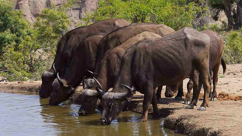 Buffaloes at waterhole